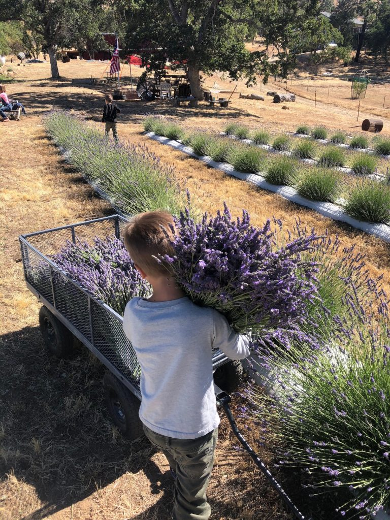 A peaceful day in the life on our lavender farm